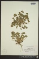 Ranunculus parviflorus image