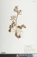 Image of Ranunculus allegheniensis