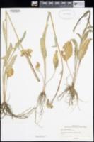 Senecio aronicoides image