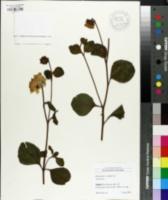 Helianthus x multiflorus image