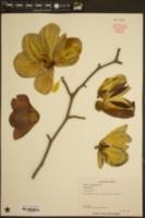 Magnolia soulangeana image