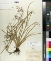 Image of Rhynchospora miliacea