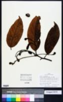 Image of Aiouea hammeliana