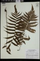 Christella hispidula image