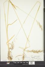 Avenula pubescens image