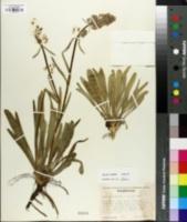 Swertia albicaulis image