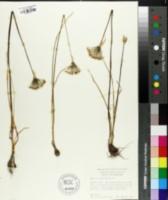 Allium cuthbertii image