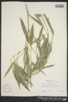 Image of Phyllostachys arcana