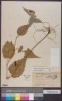 Image of Eurybia chlorolepis