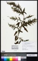Chenopodium album var. album image