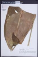 Heliconia bihai image