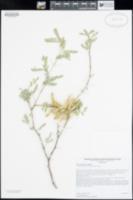 Prosopis pubescens image