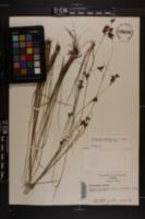 Rhynchospora perplexa image
