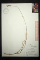 Carex tribuloides var. tribuloides image