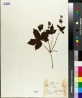 Image of Geranium nodosum