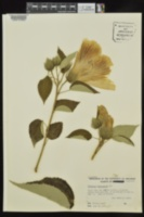 Hibiscus lasiocarpos image