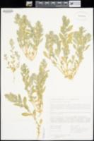 Atriplex coronata var. notatior image