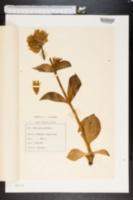 Image of Gentiana punctata