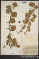 Image of Crataegus florens