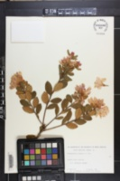 Image of Rhododendron chapmanii