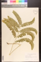 Image of Adiantopsis paupercula