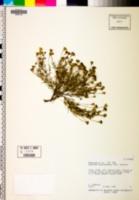Thymophylla pentachaeta var. pentachaeta image