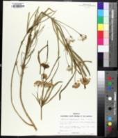 Image of Asclepias fascicularis