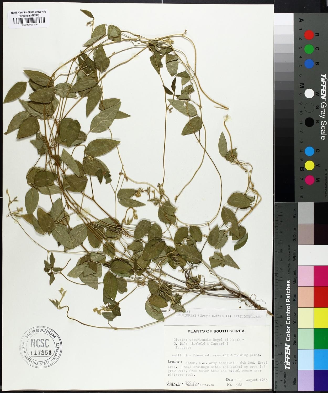 Glycine ussuriensis image