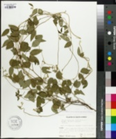 Image of Glycine ussuriensis