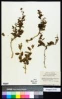Image of Tragia betonicifolia