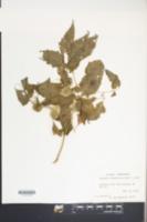 Physalis subglabrata image