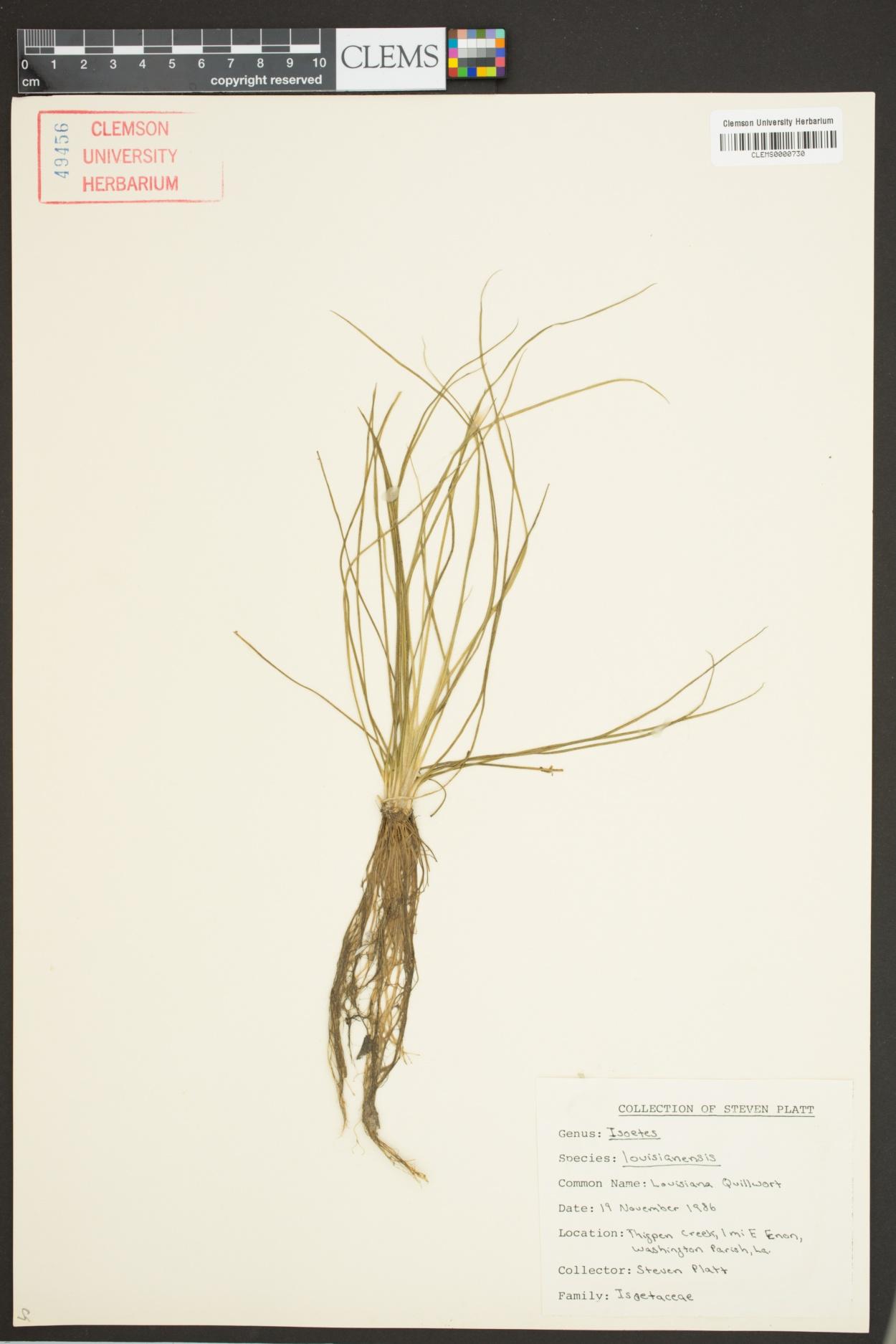 Isoetes louisianensis image
