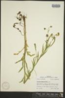 Image of Helenium quadridentatum