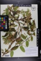 Image of Lonicera canadensis
