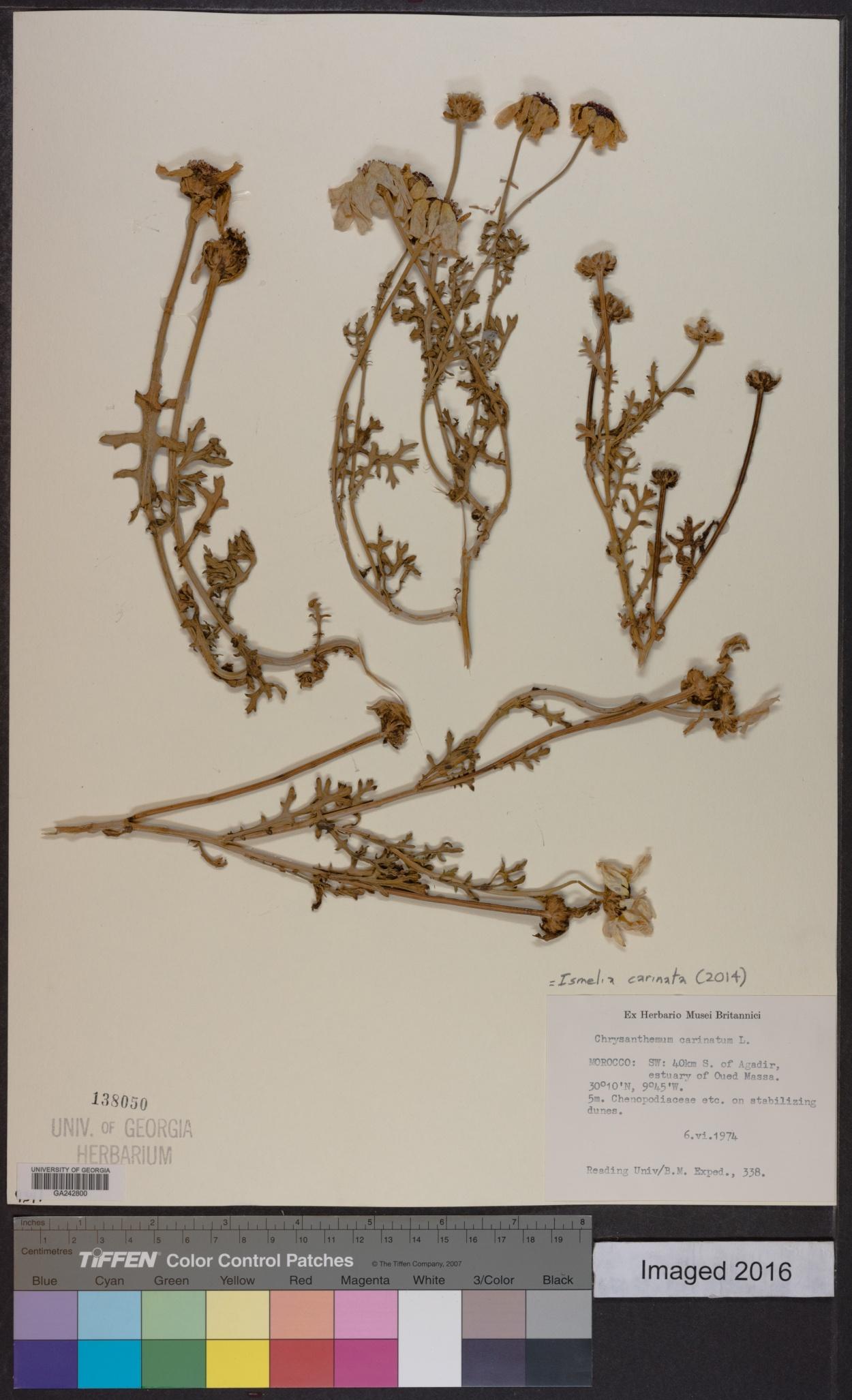 Ismelia carinata image