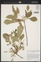 Image of Fraxinus velutina