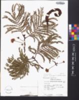 Cojoba arborea image