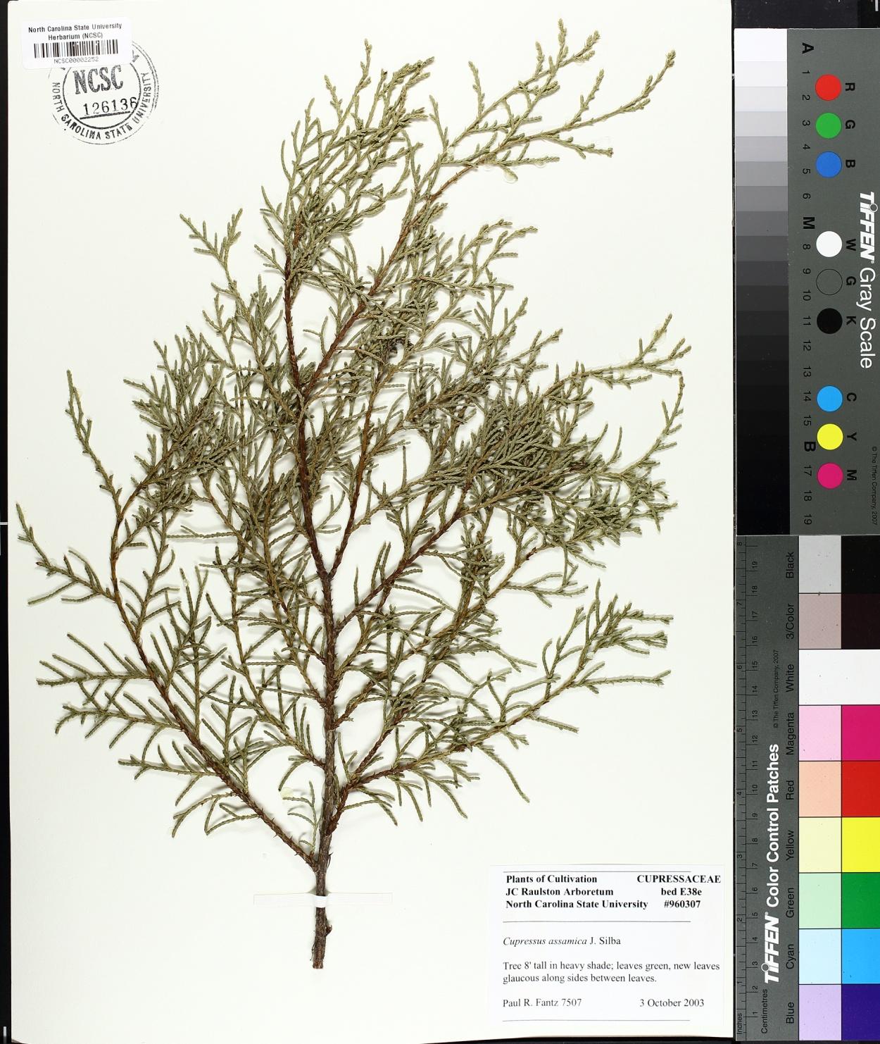 Cupressus assamica image