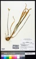Nothoscordum borbonicum image
