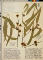 Image of Eucalyptus mannifera