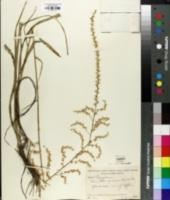 Stenanthium gramineum image
