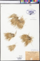 Eleocharis radicans image