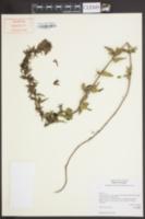 Image of Parentucellia viscosa
