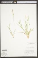 Carex digitalis image