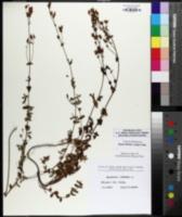 Hypericum pulchrum image