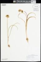 Allium fibrillum image