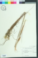 Image of Andropogon gyrans