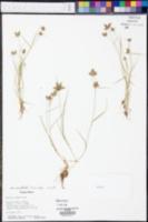 Fuirena simplex var. aristulata image