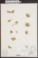 Image of Wolffia floridana