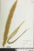 Setaria magna image